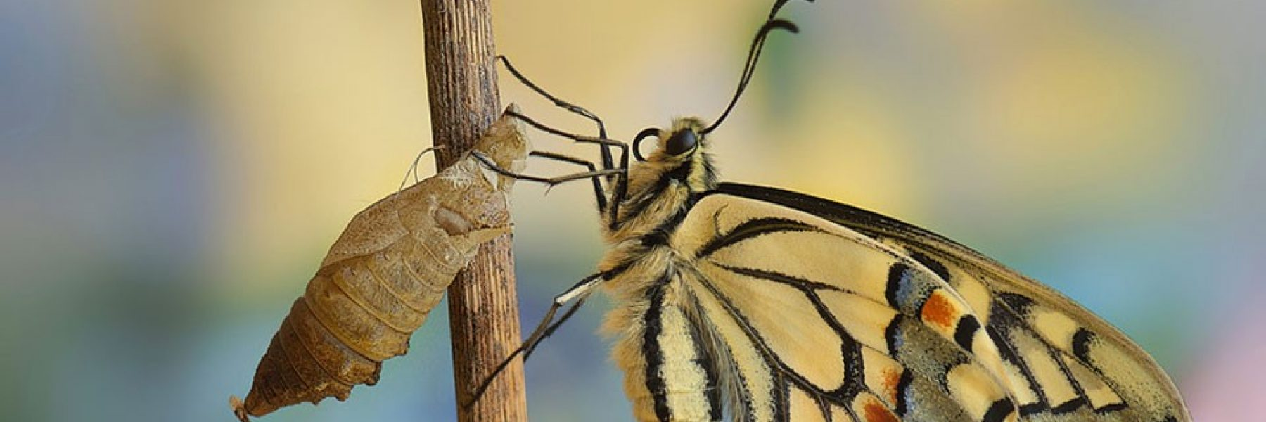 mariposa_capullo_retoque-960x350